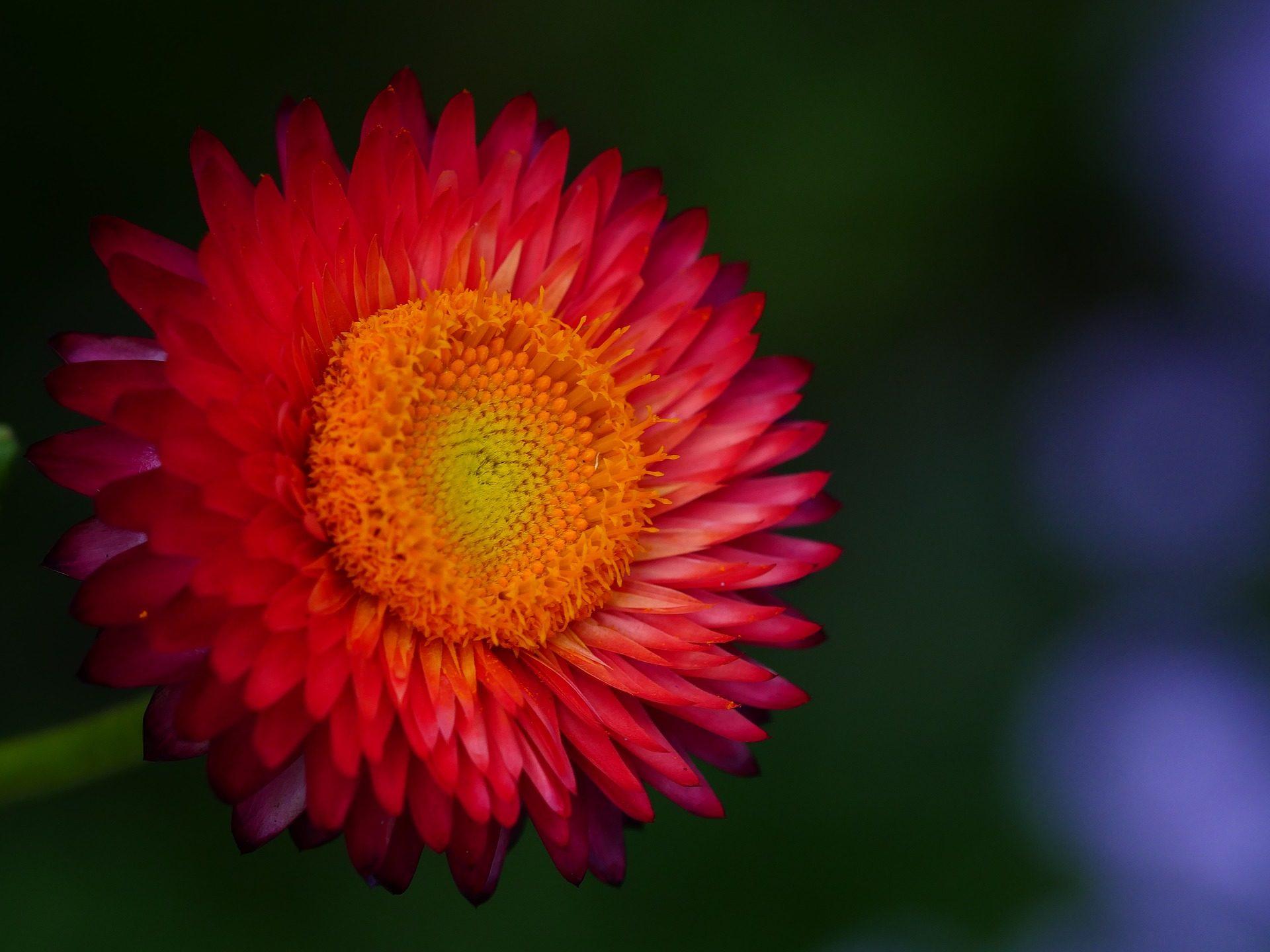 fiore, petali di, stami, pistilli, Floración, Rosso, Orange - Sfondi HD - Professor-falken.com