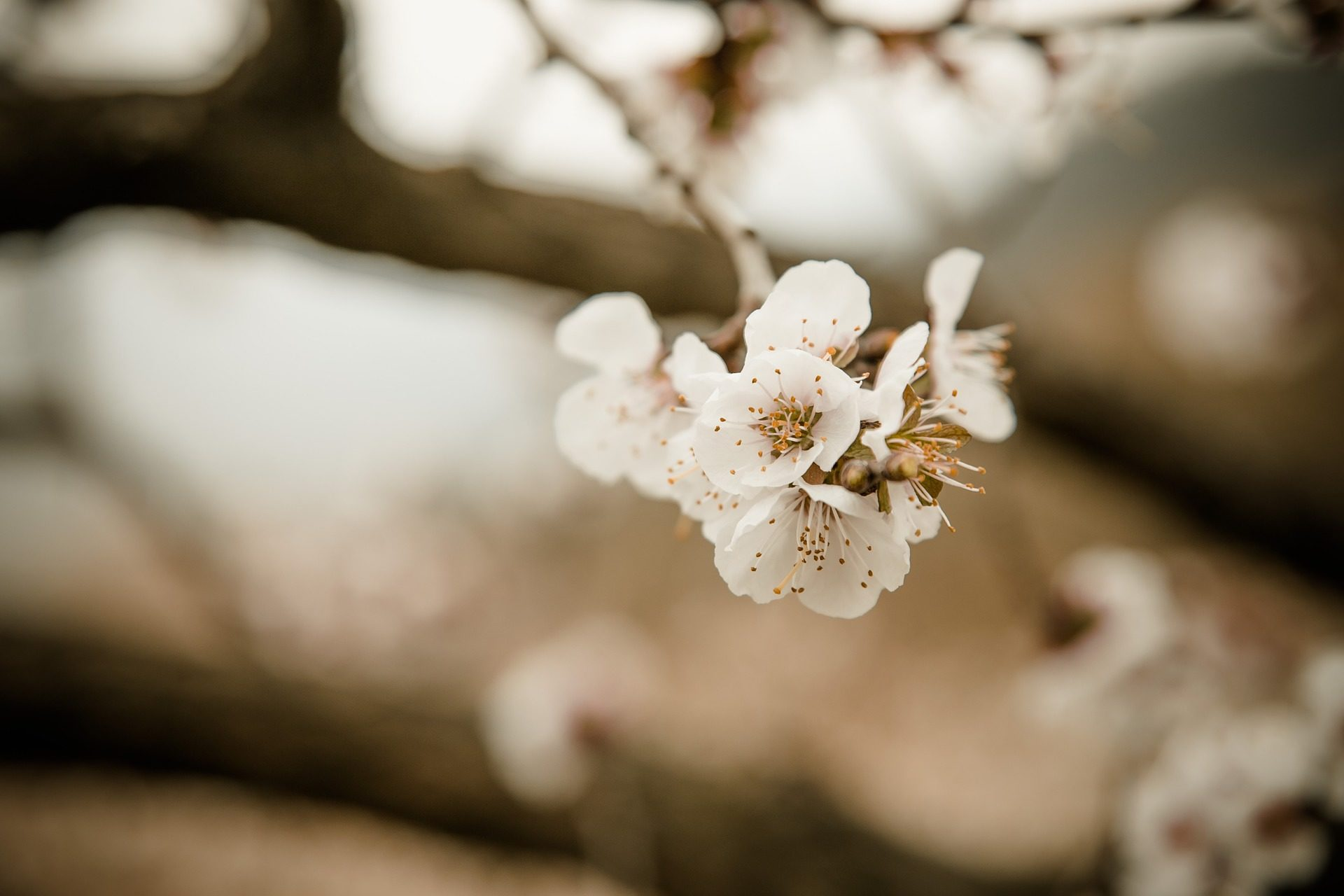 flores, floración, cerezo, pétalos, de cerca - Fondos de Pantalla HD - professor-falken.com