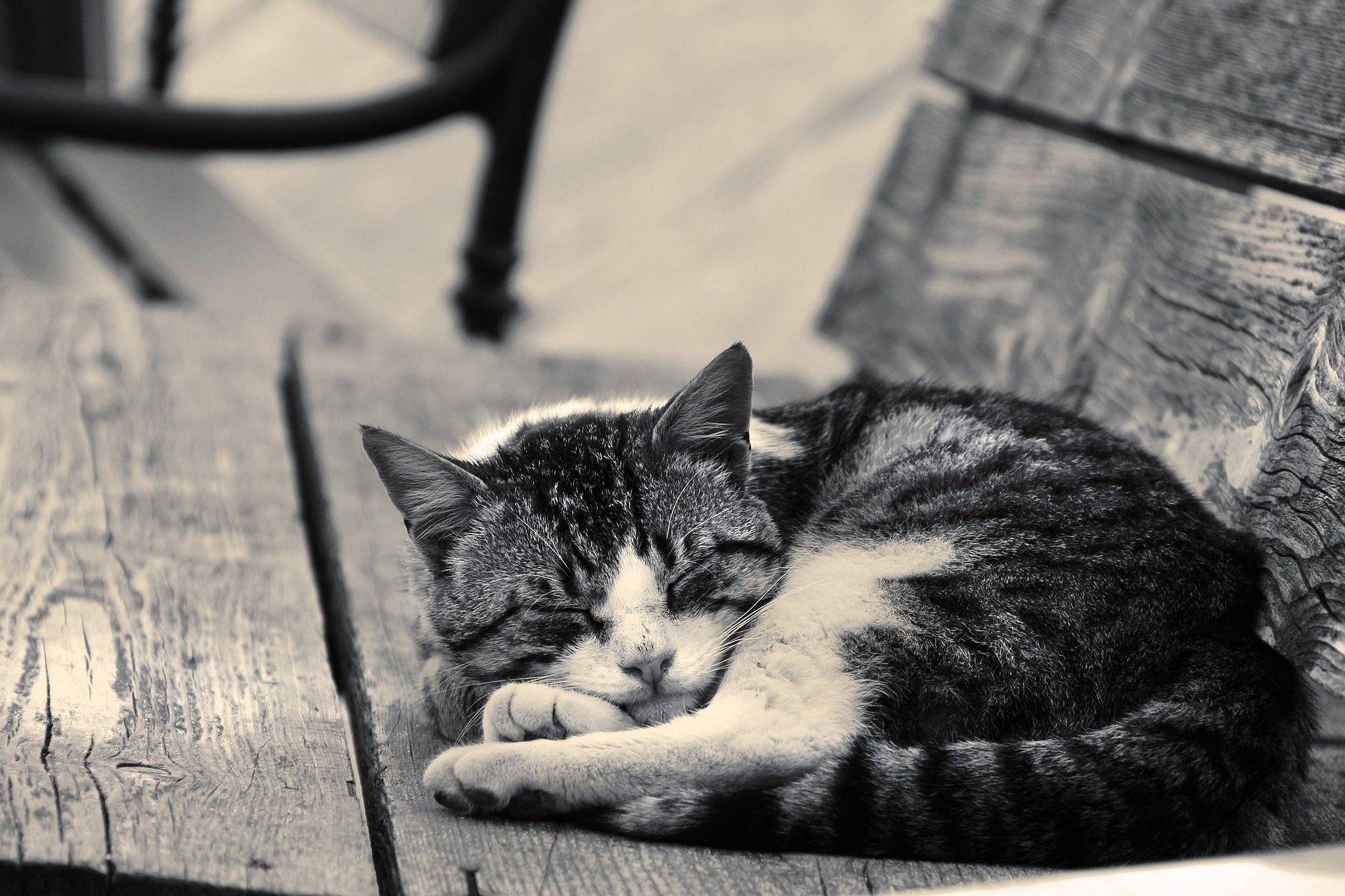 لجنة مناهضة التعذيب, وضع السكون, مصرف, الخشب, الحيوانات الأليفة, القطط, بالأبيض والأسود - خلفيات عالية الدقة - أستاذ falken.com