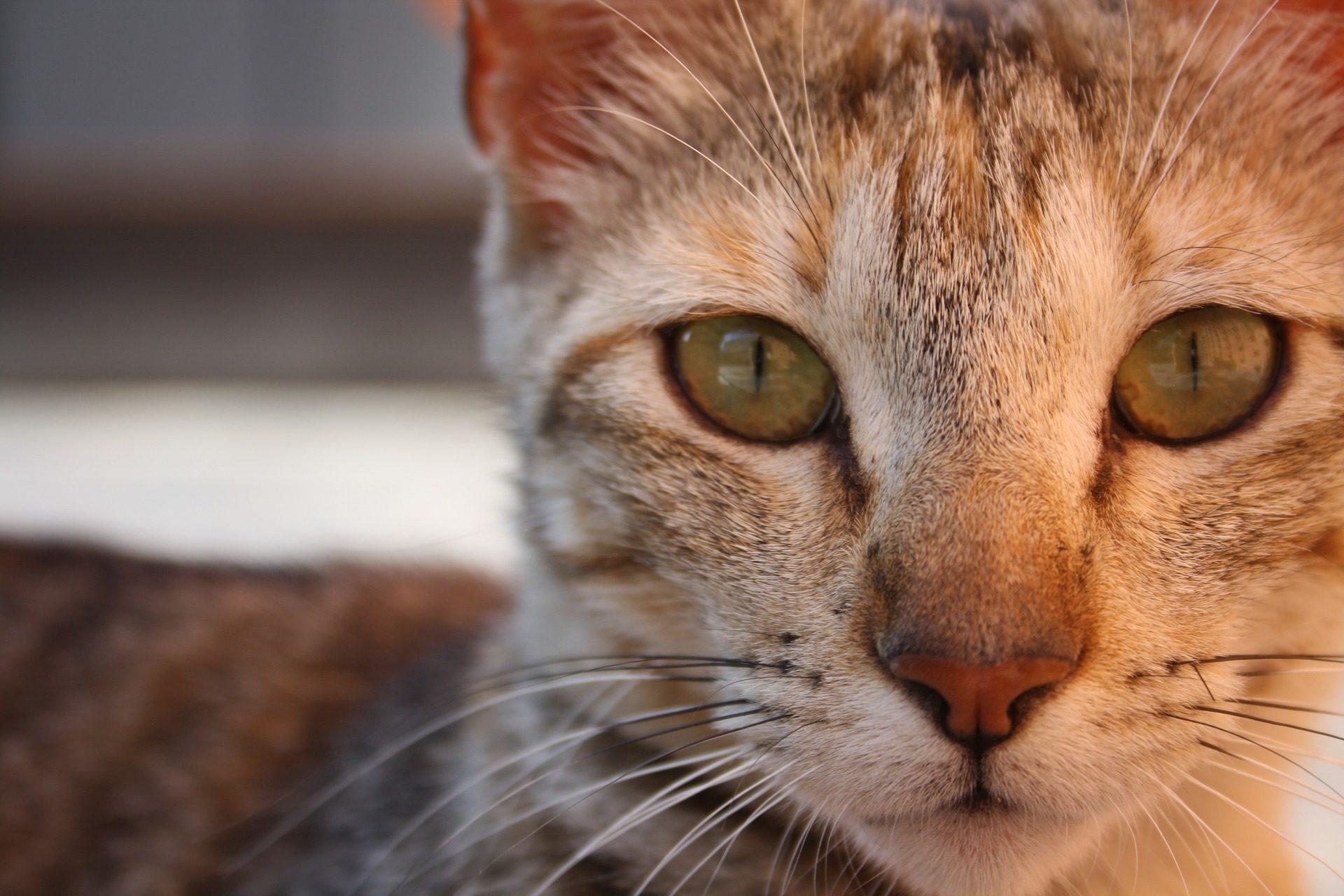 gato, felino, mascota, ,mirada, ojos, bigotes, de cerca - Fondos de Pantalla HD - professor-falken.com