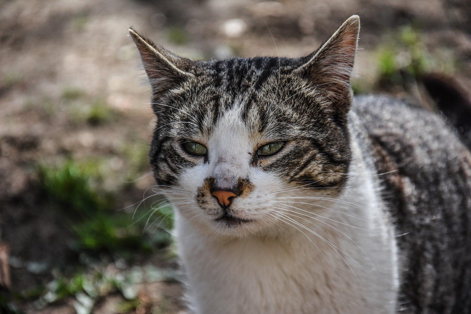 chat, félin, coup d'oeil, fourrure, moustaches, Animal de compagnie - Fonds d'écran HD - Professor-falken.com
