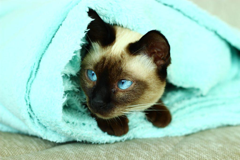 gato, siamés, manta, ojos, azules, mascota, 1704212349
