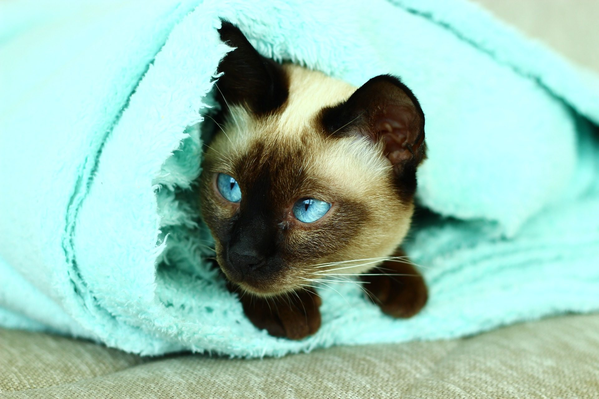 gato, Siameses, cobertor, olhos, Azul, Animal de estimação - Papéis de parede HD - Professor-falken.com
