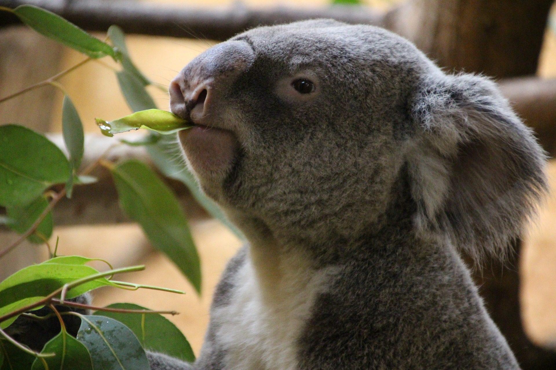 Koala, Eukalyptus, Essen, Australien, Zoo - Wallpaper HD - Prof.-falken.com