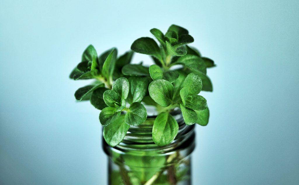 menta, planta, aromática, hierba, hojas, verde, 1704051421