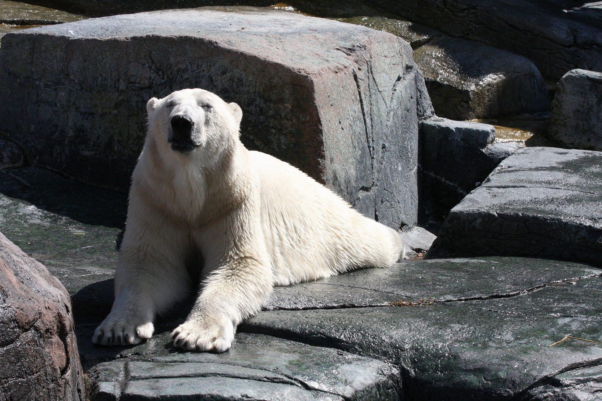 oso, polar, blanco, descanso, piedras, agua - Fondos de Pantalla HD - professor-falken.com