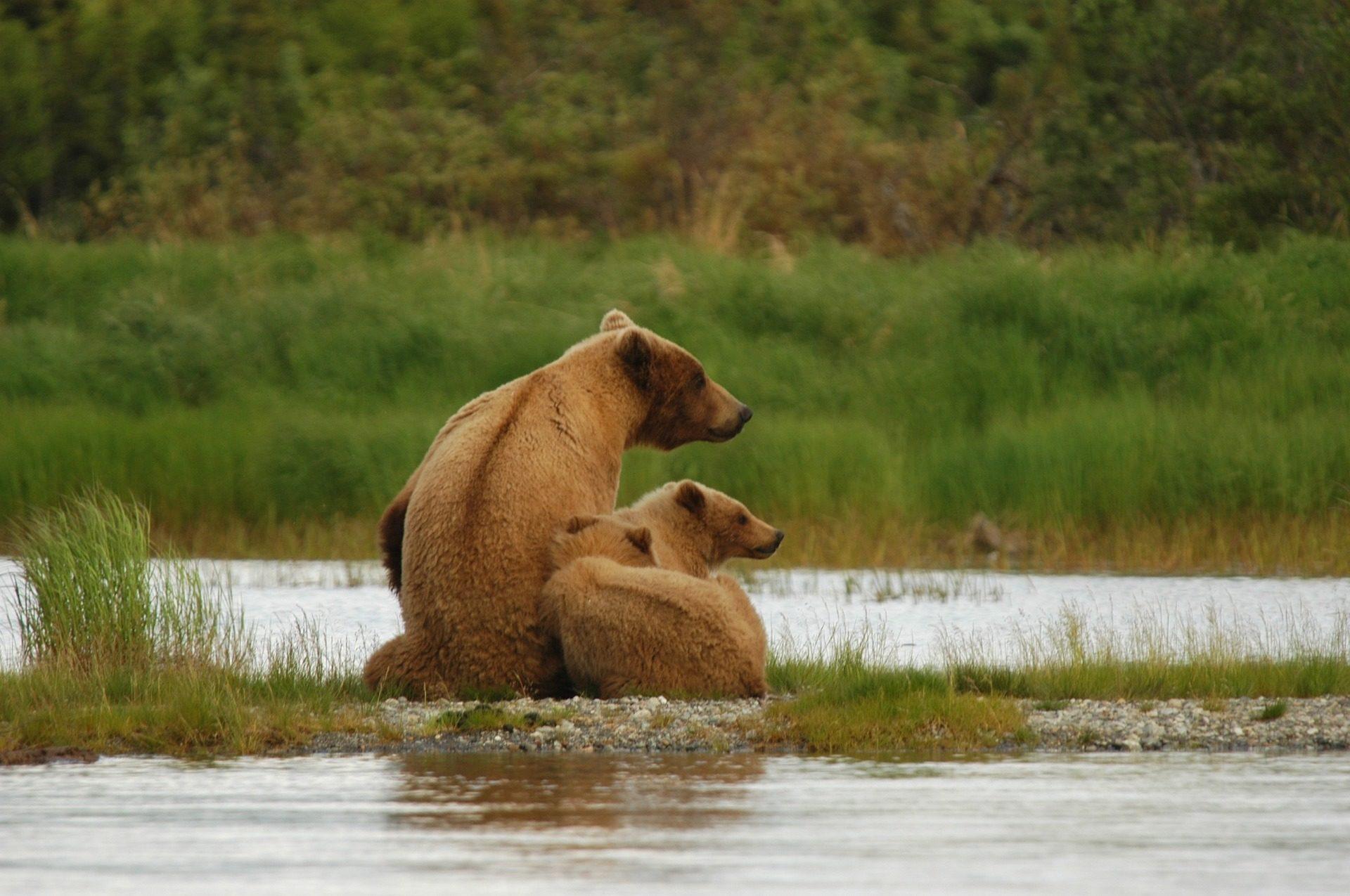 भालू, परिवार, नदी, जंगली, स्वतंत्रता - HD वॉलपेपर - प्रोफेसर-falken.com