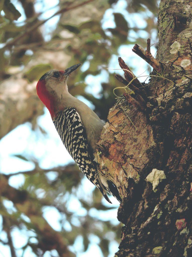 pájaro, carpintero, ave, pico, árbol, plumaje, 1704012330
