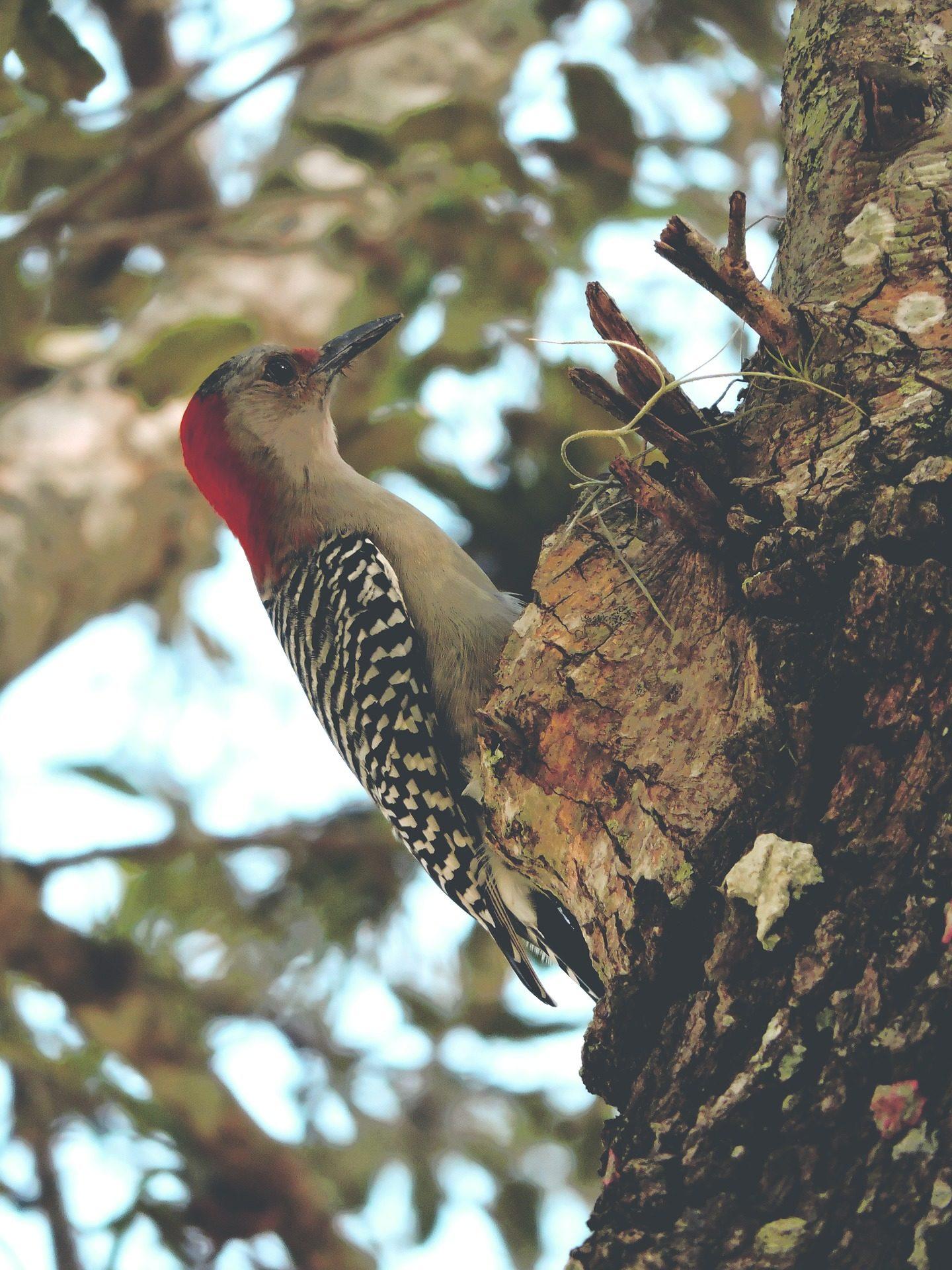 الطيور, نجار, أفي, الذروة, شجرة, ريش - خلفيات عالية الدقة - أستاذ falken.com
