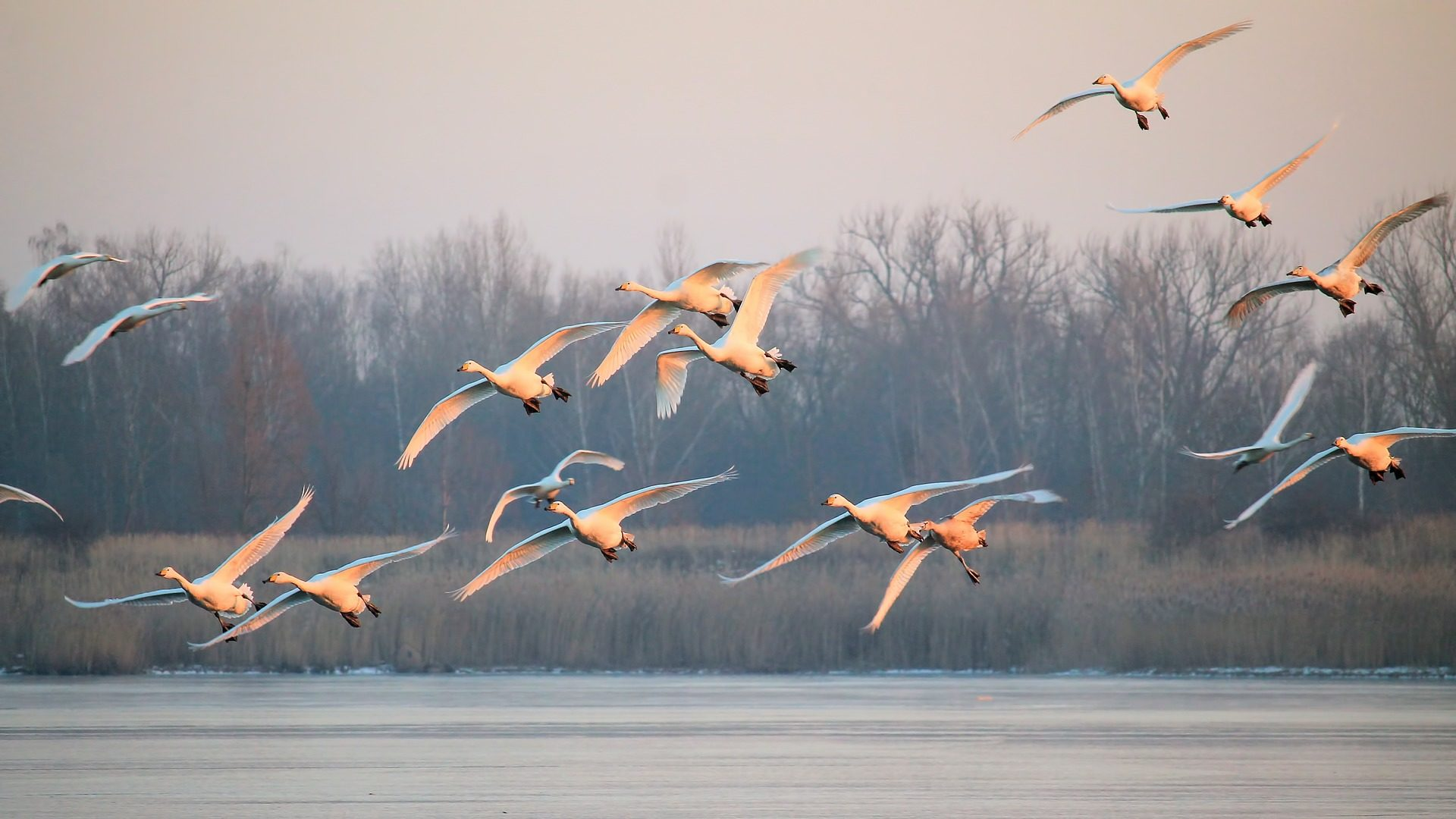 pájaros, الطيور, البجع, لاغونا, الأشجار, رحلة - خلفيات عالية الدقة - أستاذ falken.com