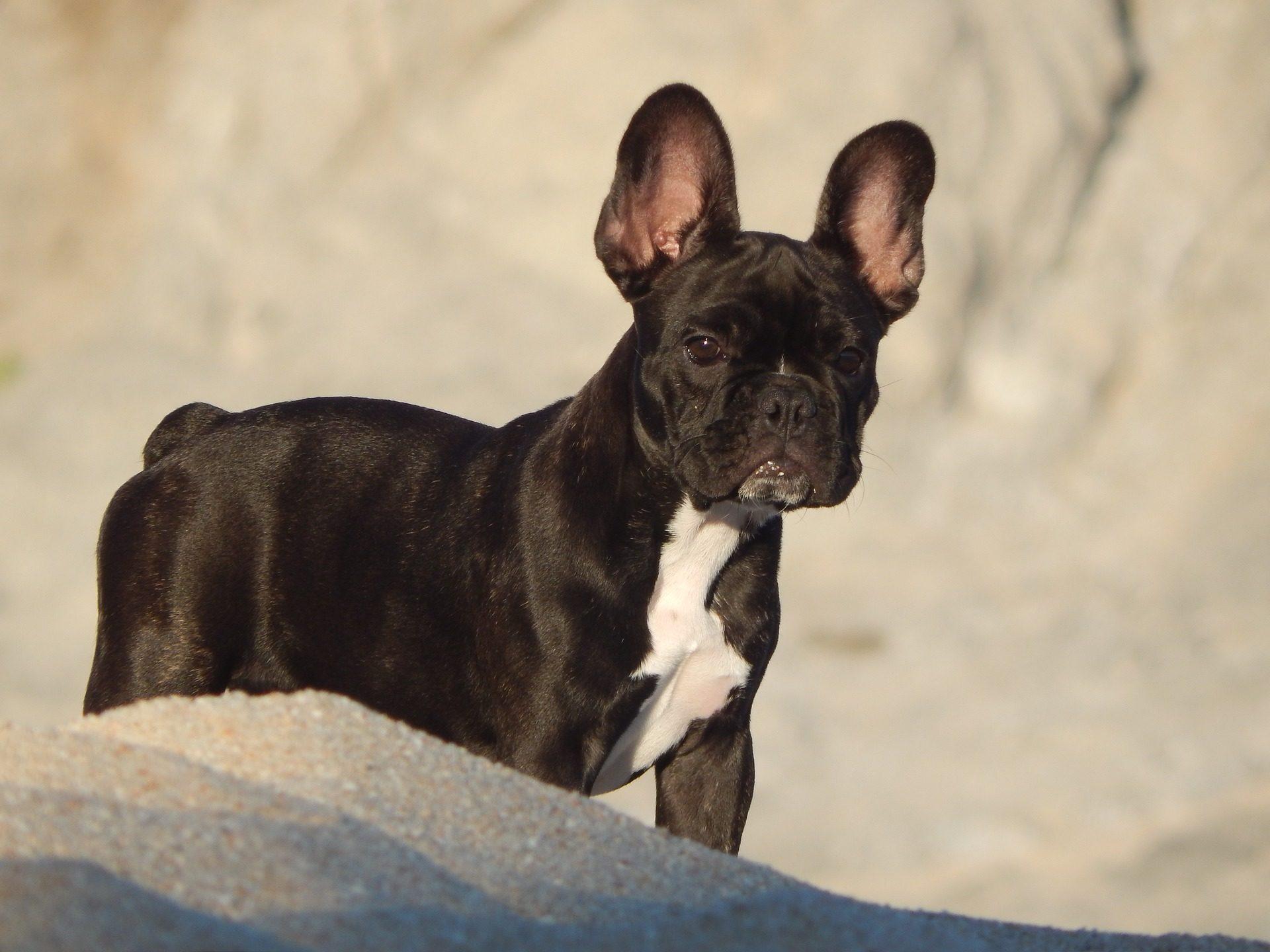 狗, 宠物, 斗牛犬, 法语, 海滩, 沙子 - 高清壁纸 - 教授-falken.com
