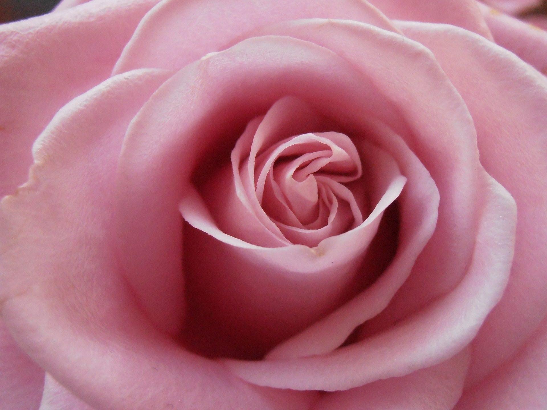 罗莎, 花, 花瓣, 形式, 关于 - 高清壁纸 - 教授-falken.com