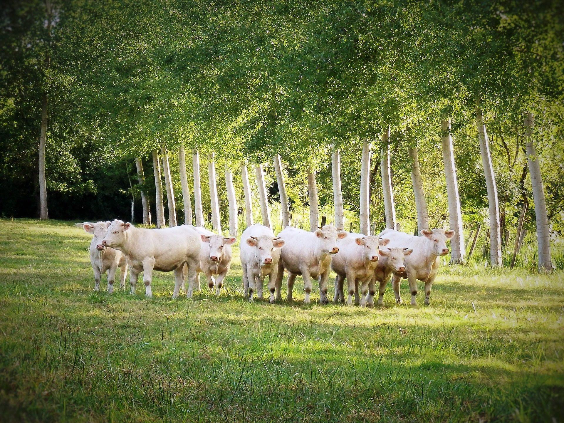 коровы, выпас скота, ферма, поле, крупный рогатый скот - Обои HD - Профессор falken.com