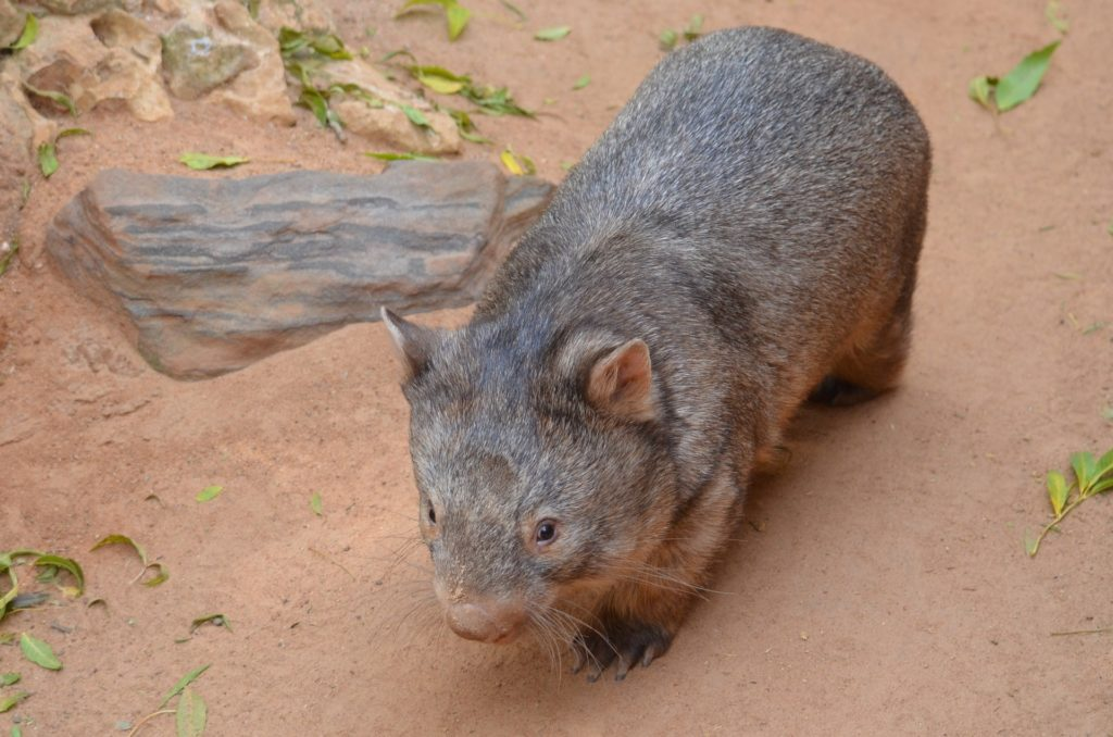 wombat, mamífero, raro, fauna, australia, marsupial, 1704262338