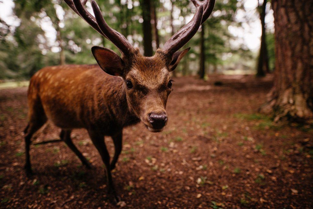 ciervo, bosque, cuernos, árboles, salvaje, 1705281412