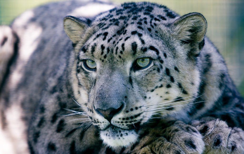 leopardo de nieve, felino, depredador, fiera, salvaje, mirada, 1705112036