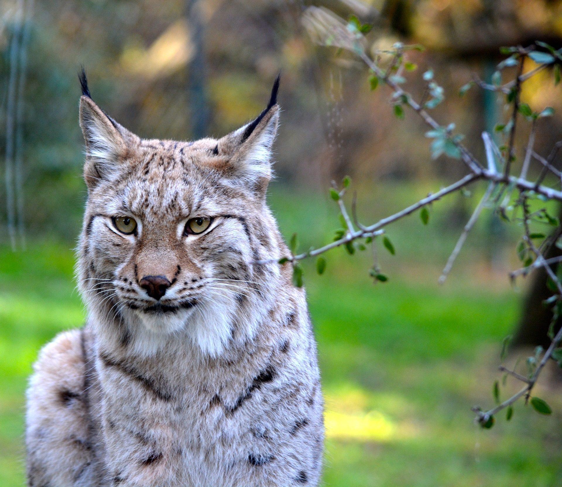 Lynx, ネコ科の動物, フィールド, フォレスト, 野生 - HD の壁紙 - 教授-falken.com