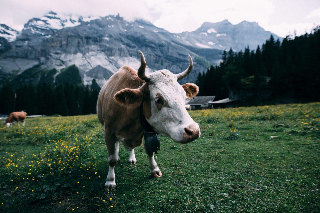 vaca, pradera, pasto, granja, hierba, montaña, 1705261358