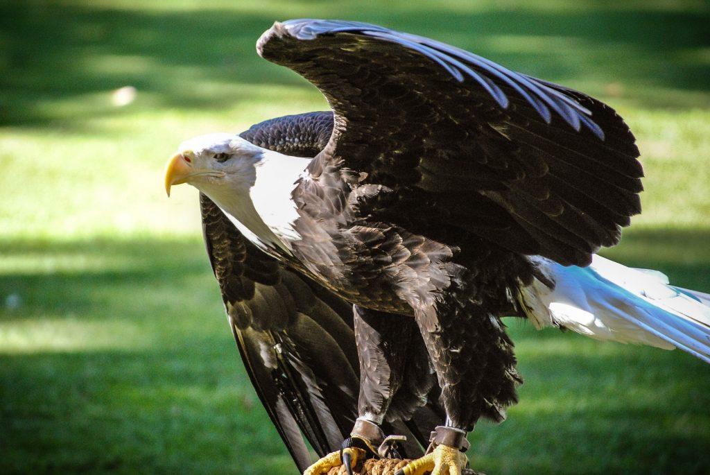 águila, calva, ave, plumaje, depredador, envergadura, 1706102326