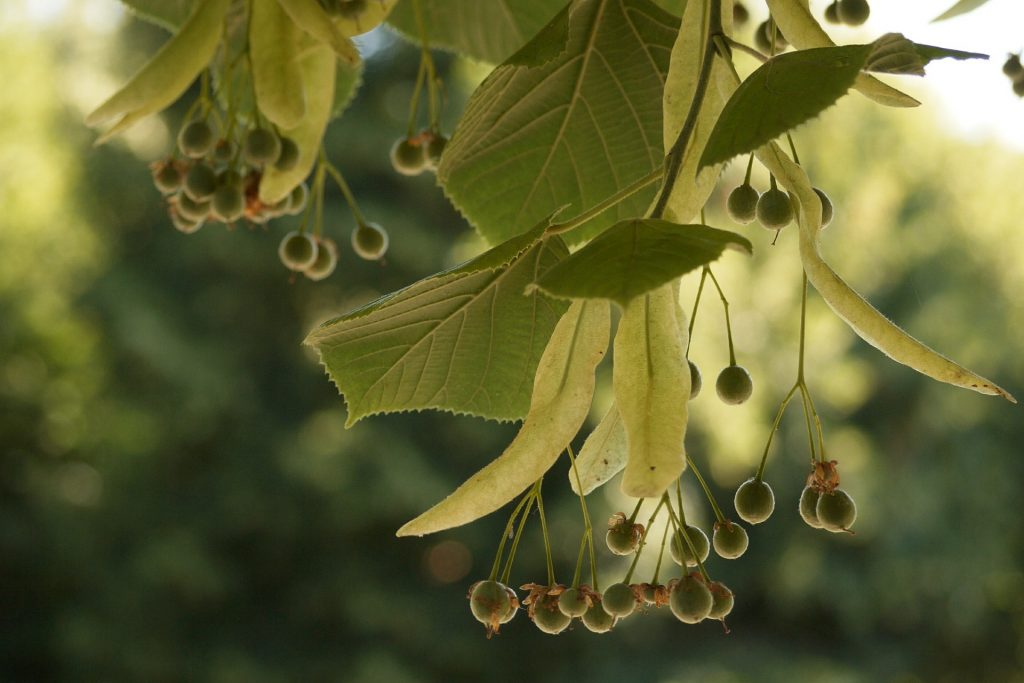 树, 水果, limas, 分支机构, 叶子, 1706242159