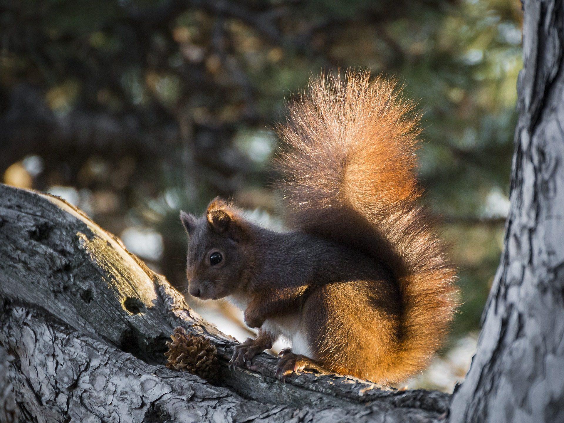 गिलहरी, शाखा, पेड़, फर, कृंतक, वन - HD वॉलपेपर - प्रोफेसर-falken.com