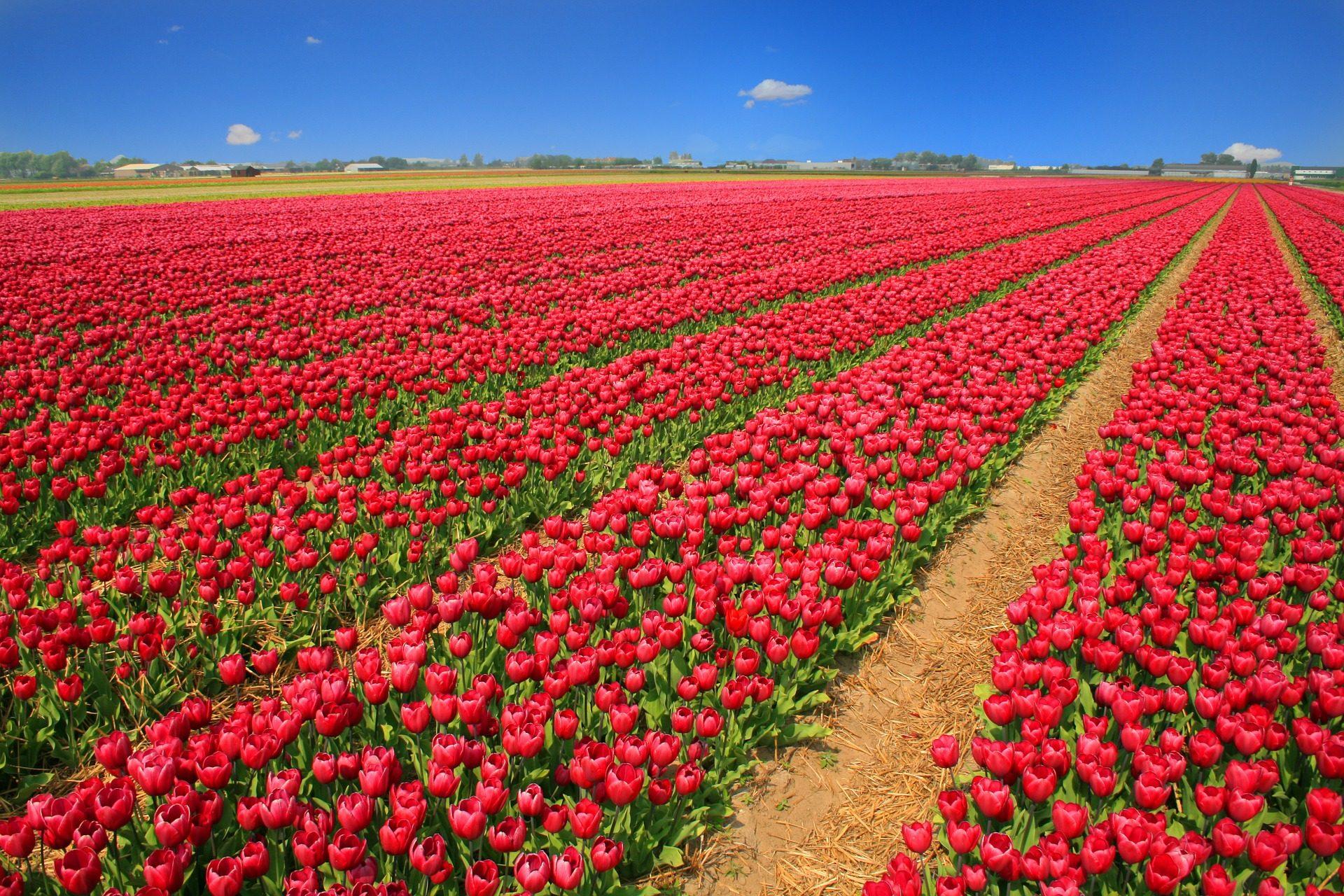 πεδίο, Φυτεία, Τουλίπες, λουλούδια, Άνθιση, Ολλανδία - Wallpapers HD - Professor-falken.com