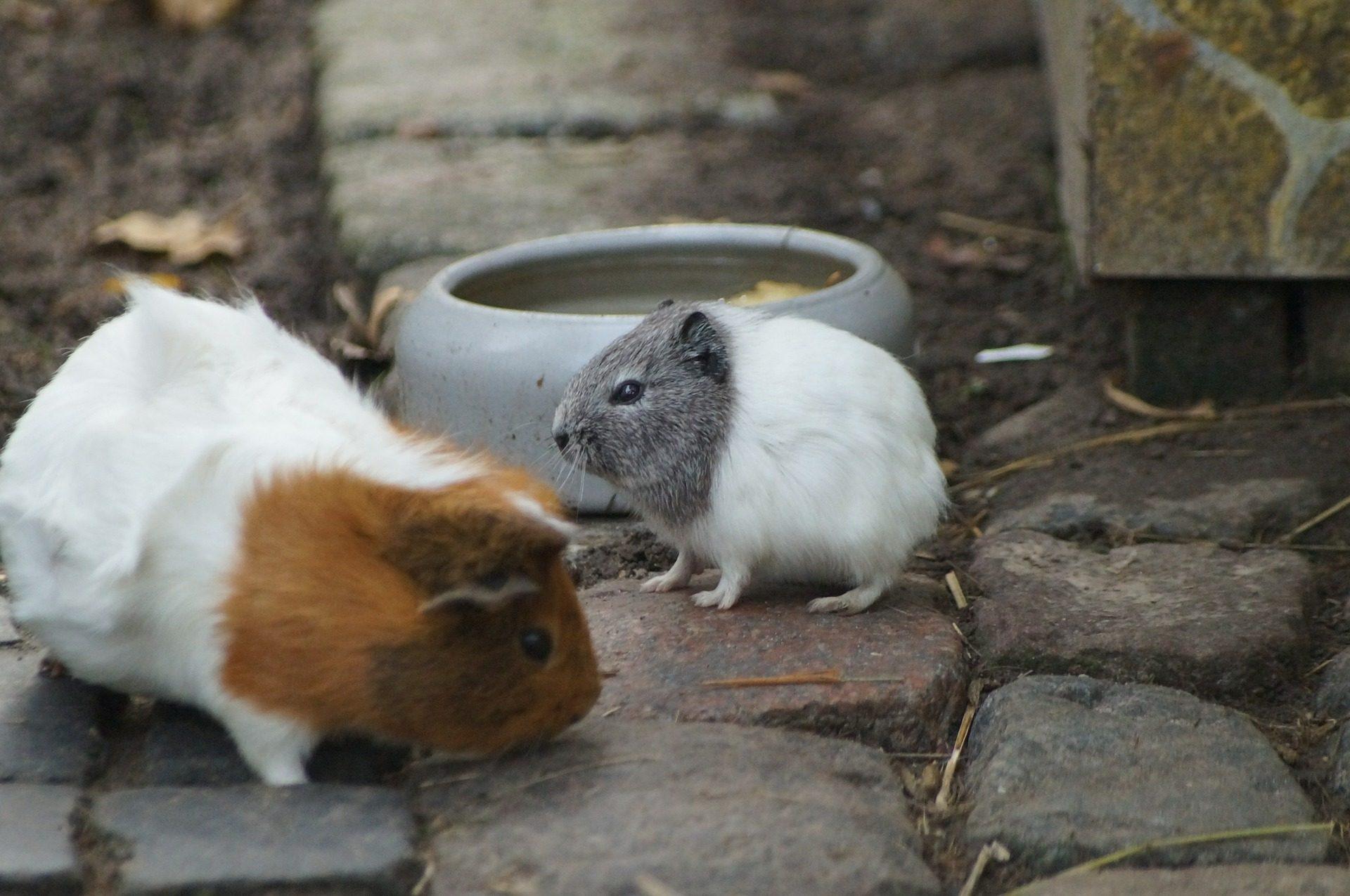 Guiné, Indian, roedores, animais de estimação, Hamster - Papéis de parede HD - Professor-falken.com