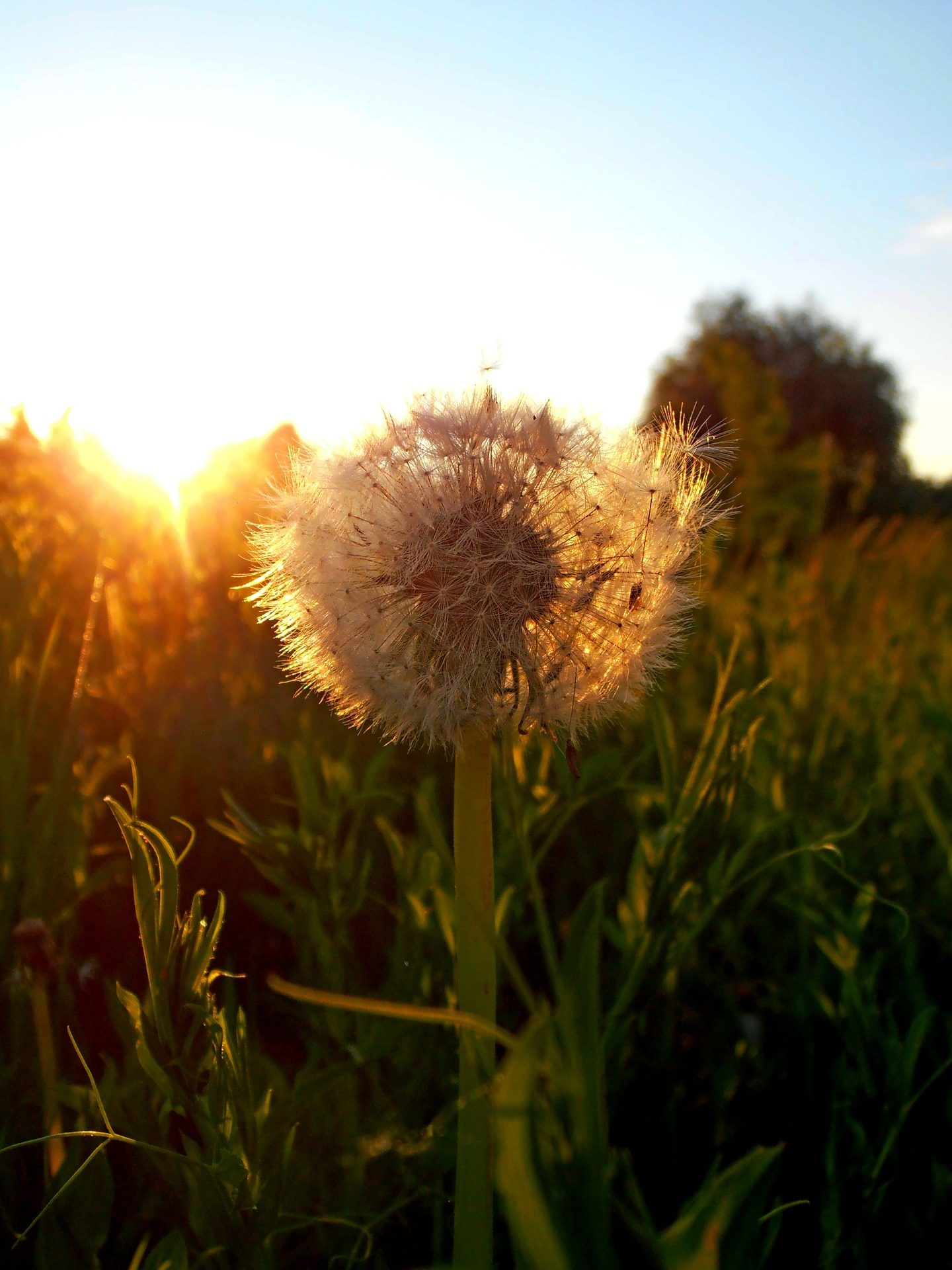 Pissenlit, fleur, Coucher de soleil, été, PRADO, domaine - Fonds d'écran HD - Professor-falken.com