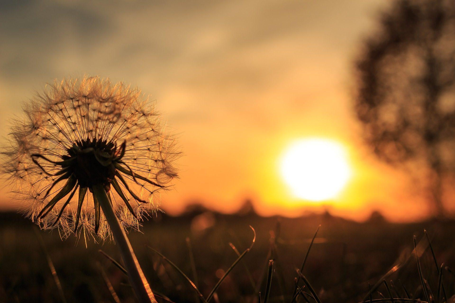 タンポポ, 植物, 木, シルエット, サンセット, 太陽, オレンジ - HD の壁紙 - 教授-falken.com