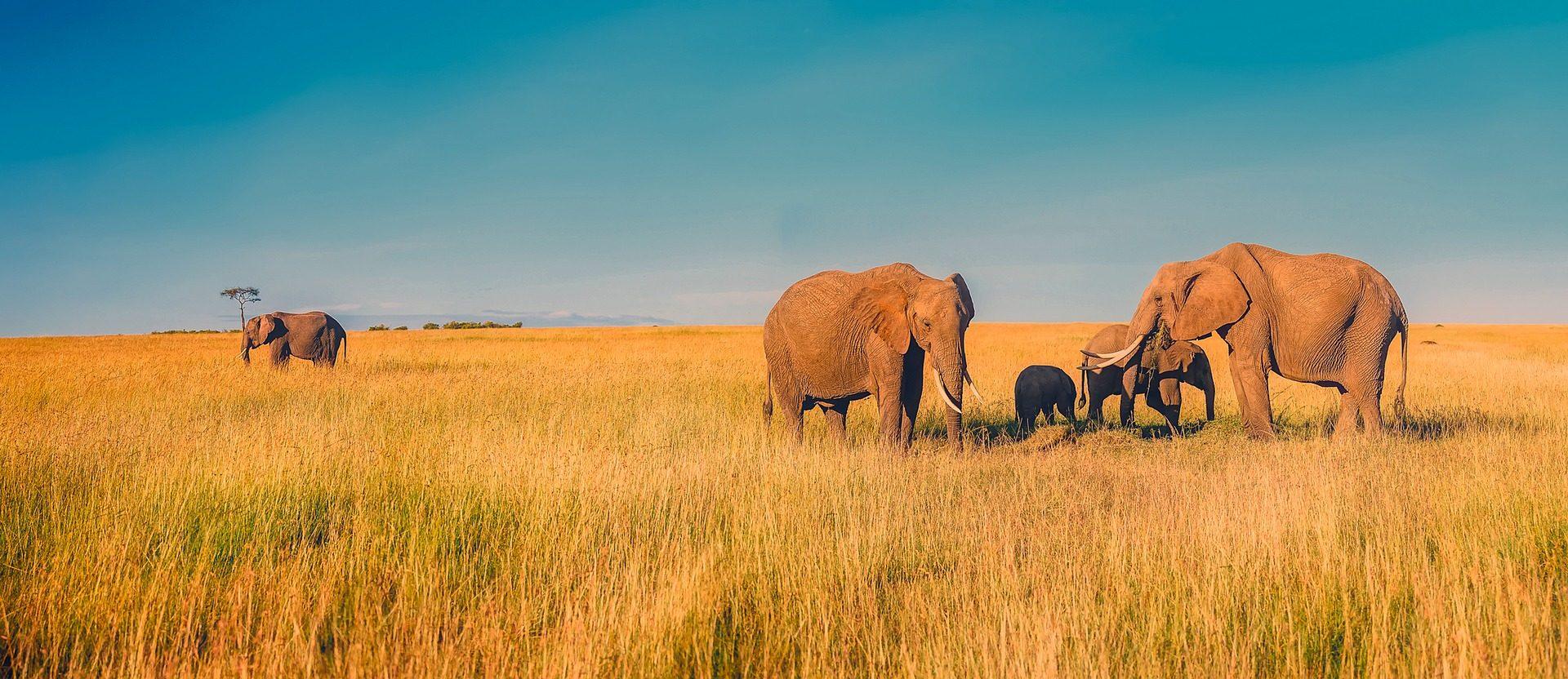 大象, 獠牙, 牛群, 家庭, 萨凡纳, 非洲 - 高清壁纸 - 教授-falken.com
