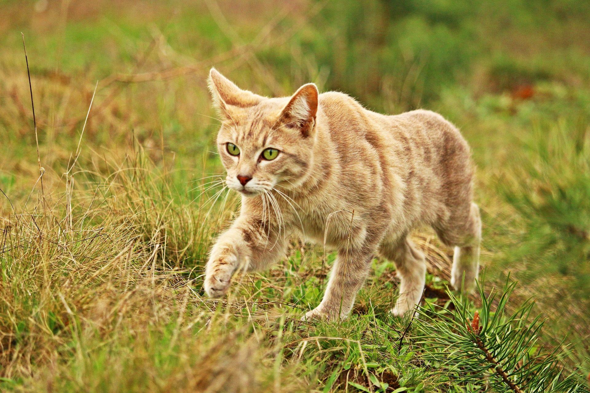 gato, felino, campo, peles, Olha - Papéis de parede HD - Professor-falken.com