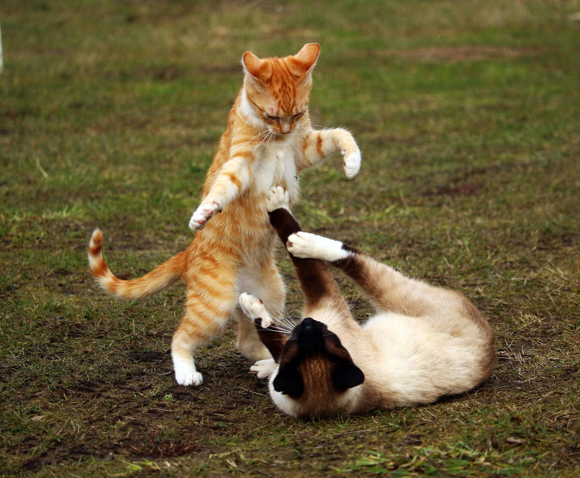 γάτες, παιχνίδι, πάλη, Κήπος, κατοικίδια ζώα, Σιαμαία - Wallpapers HD - Professor-falken.com