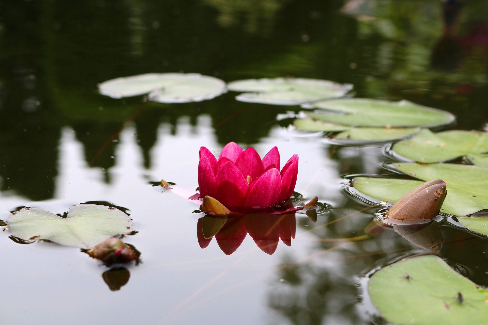 Lily, eau, étang, feuilles, pétales, Jardin - Fonds d'écran HD - Professor-falken.com