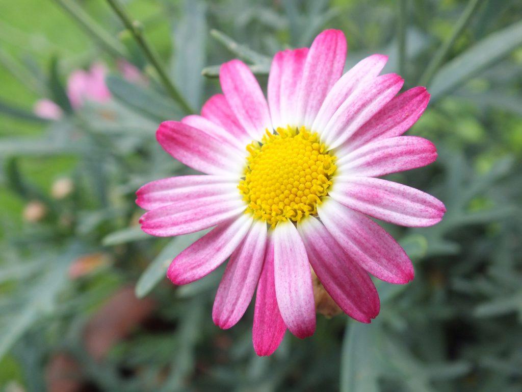 玛格丽塔, 花, 花瓣, 花园, 布卢姆, 罗莎, 1706192254