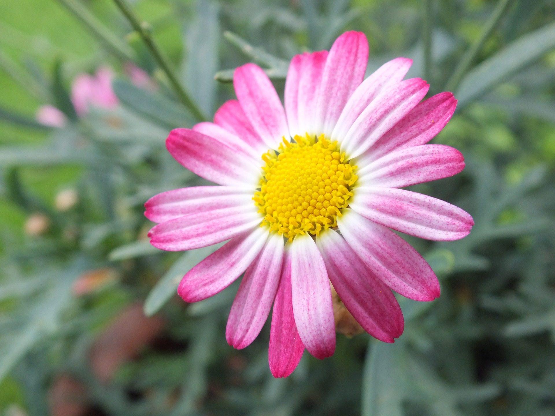 Margarita, fiore, petali di, Jardín, Floración, Rosa - Sfondi HD - Professor-falken.com