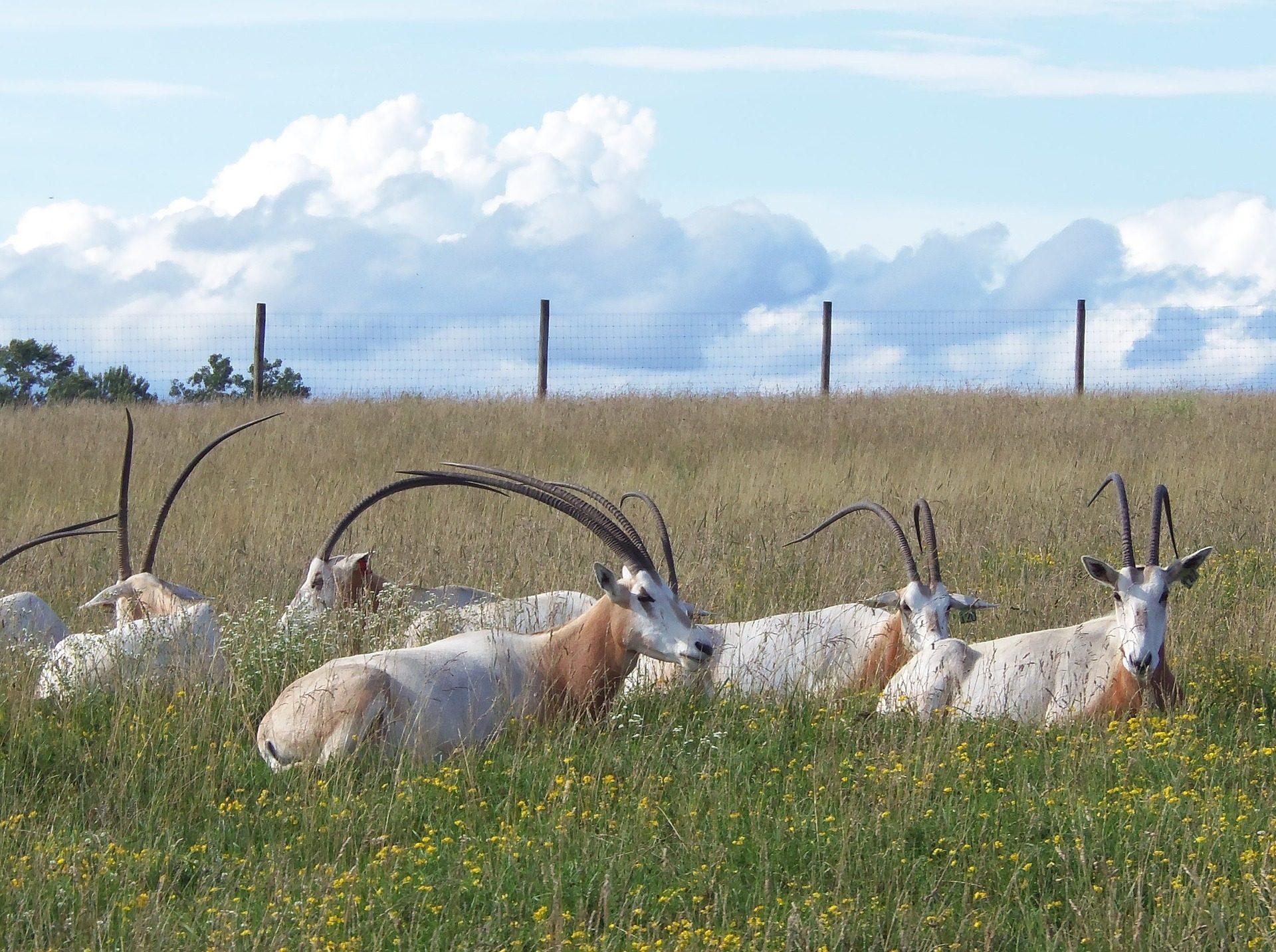 oryx, 牛群, 喇叭, antílopes, 野生动物园 - 高清壁纸 - 教授-falken.com
