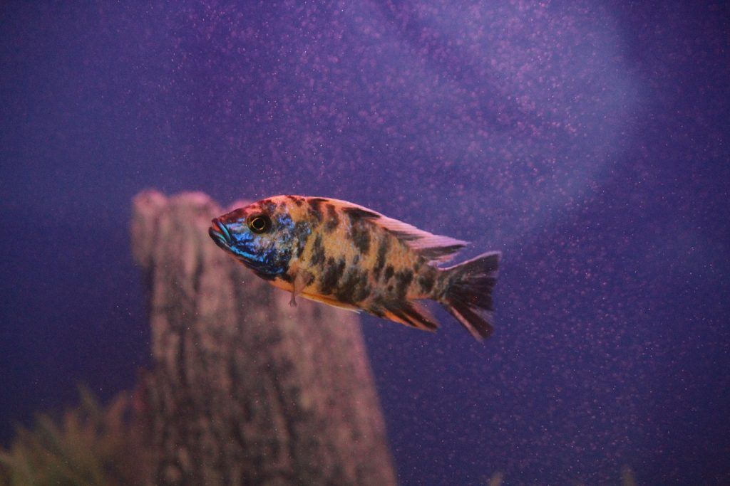pez, colorido, acuario, estanque, naranja, 1706261434