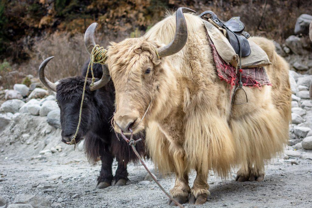 yaks, ganado, cuernos, carga, manali, himalaya, 1706200858