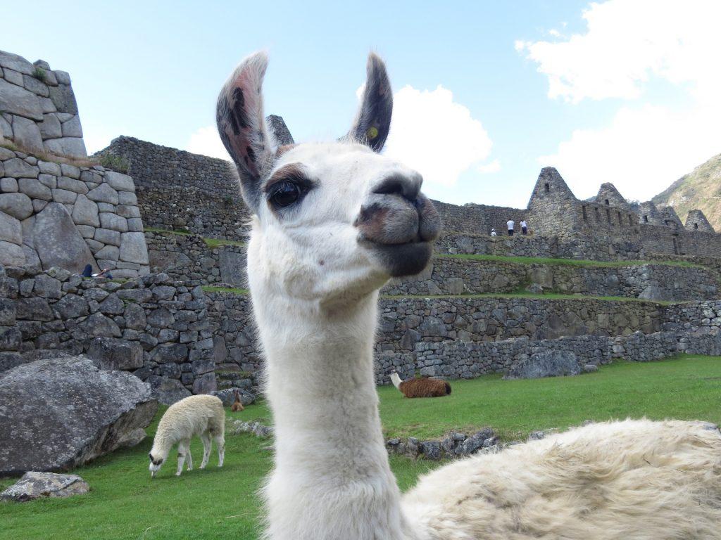alpaca, ruinas, ancestros, machu picchu, perú, 1707271243