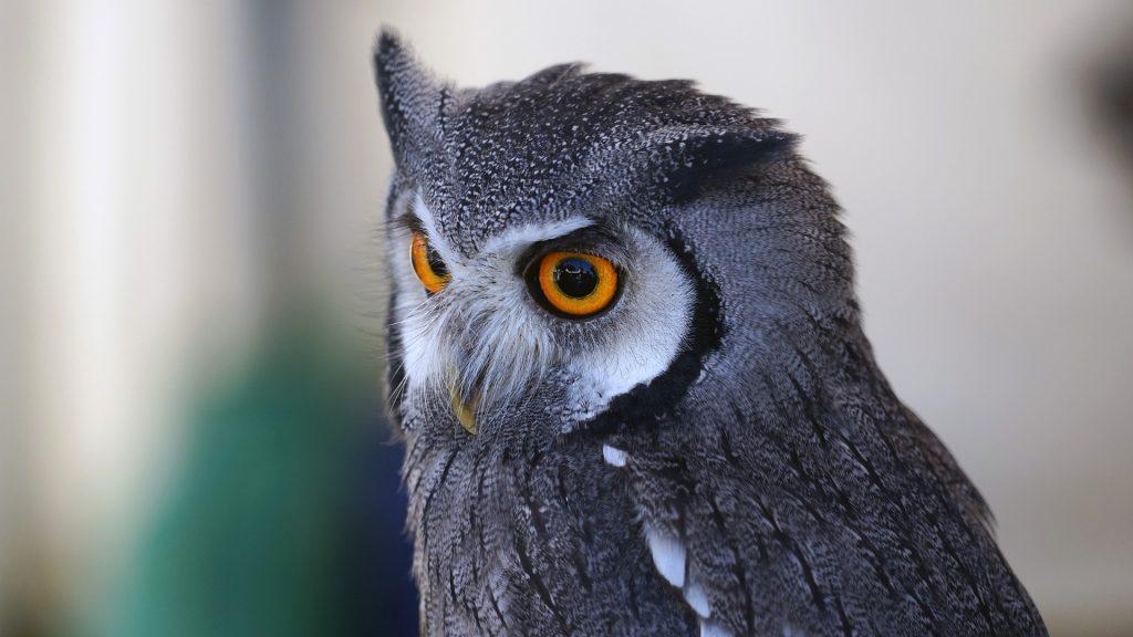 buho, lechuza, ave, pajaro, plumaje, ojos, 1707140830