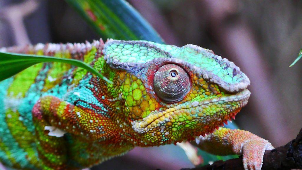 camaleón, colorido, escamas, ojos, reptil, 1707231135