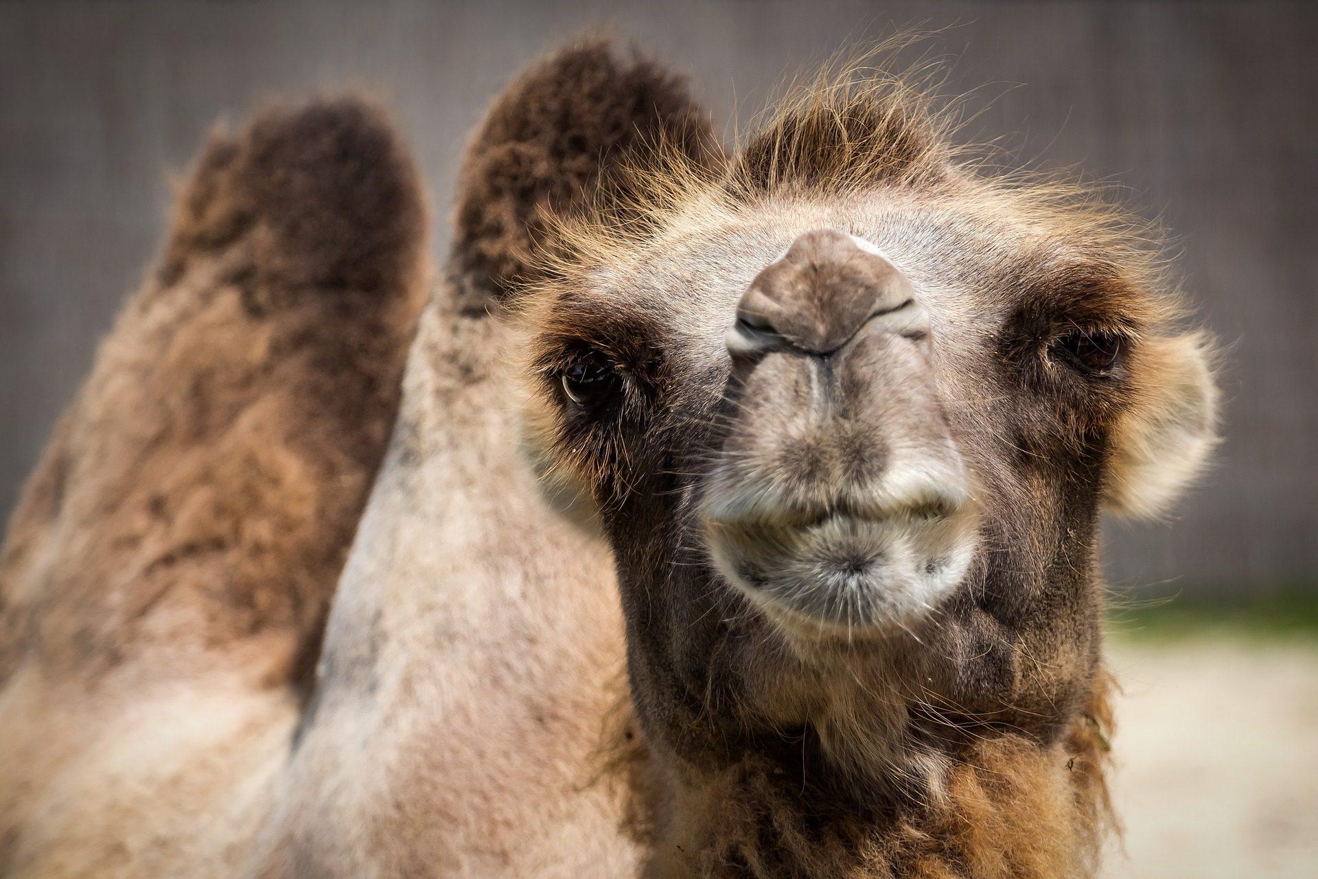 chameau, museau, poils, ralentisseurs, coup d'oeil - Fonds d'écran HD - Professor-falken.com