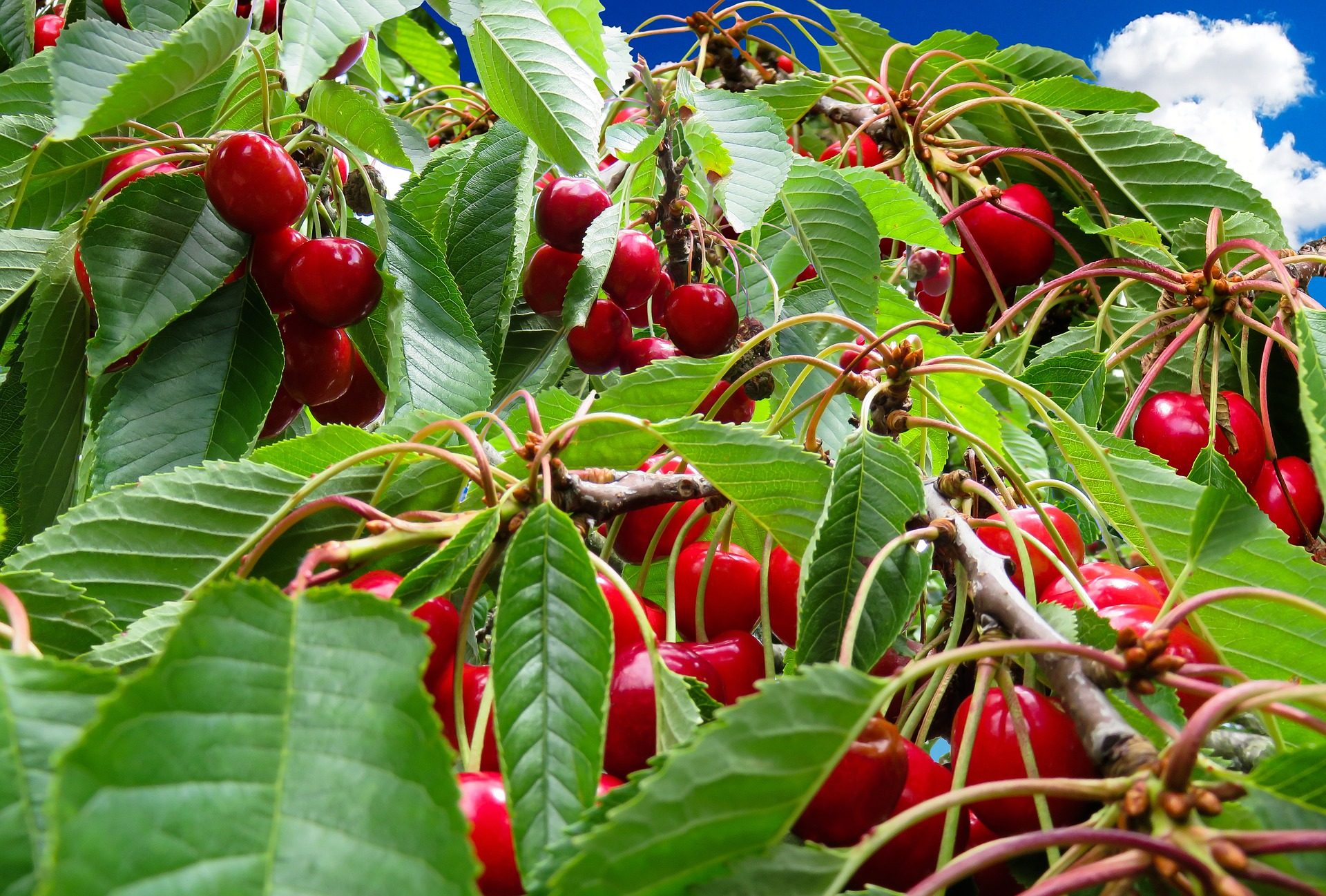 ciliegie, Plantation, Frutteto, árbol, Ciliegia, rami, foglie - Sfondi HD - Professor-falken.com