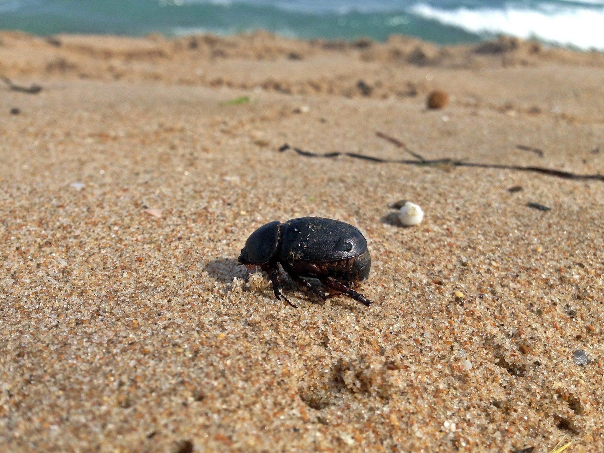 σκαθάρι, έντομο, Παραλία, Θάλασσα, Άμμος - Wallpapers HD - Professor-falken.com