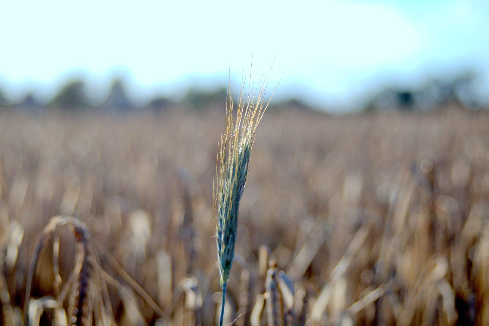 تانغ, القمح, مزرعة, الميدان, زراعة - خلفيات عالية الدقة - أستاذ falken.com