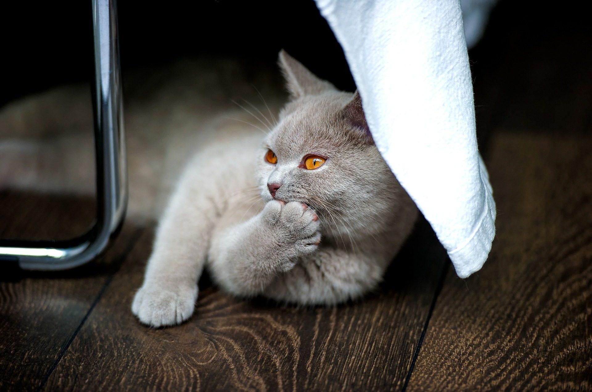 gato, Katze, Haustier, pelocorto, Blick, Augen - Wallpaper HD - Prof.-falken.com