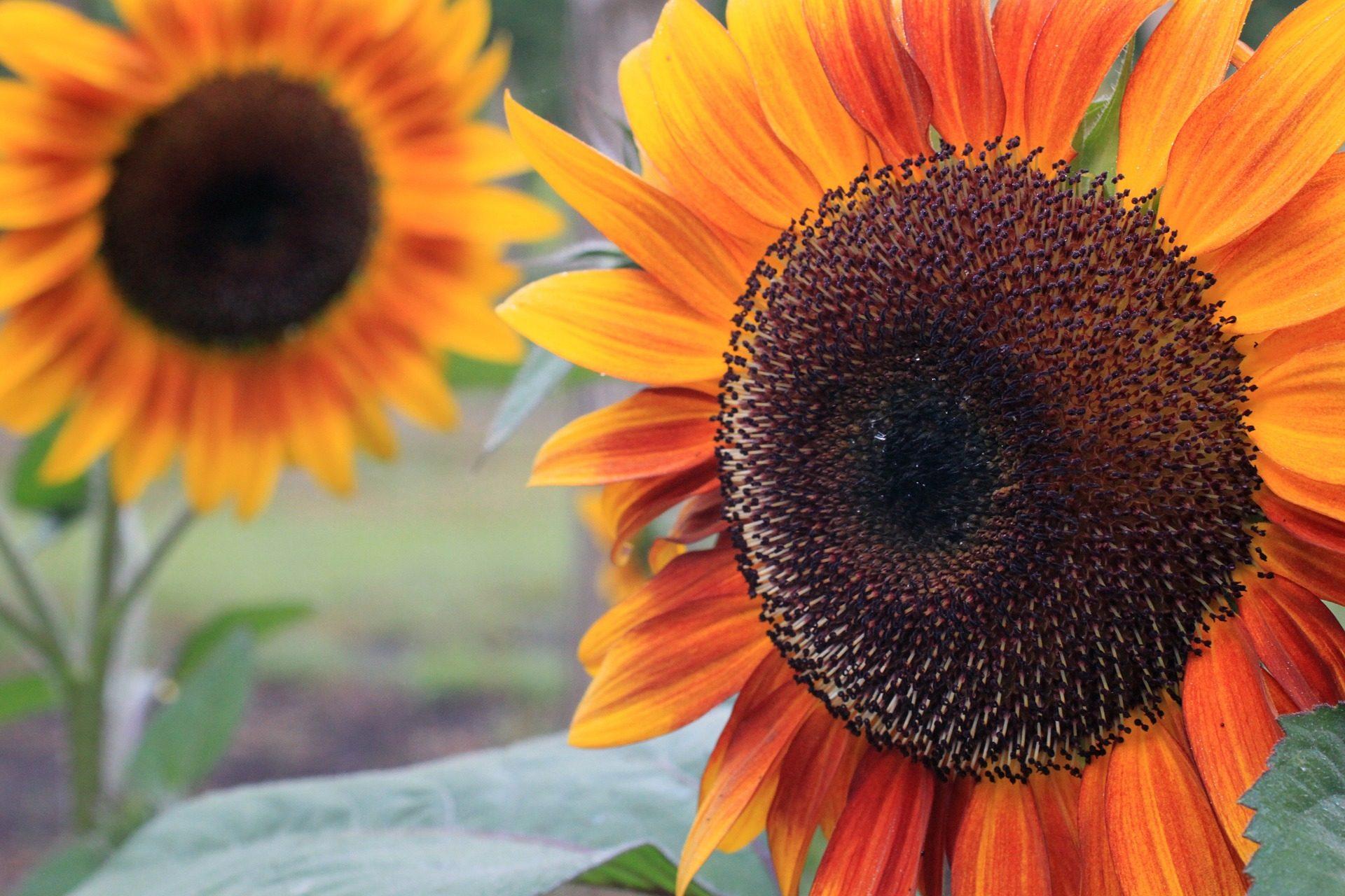 girassóis, plantas, pétalas, colorido, campo, Plantation - Papéis de parede HD - Professor-falken.com