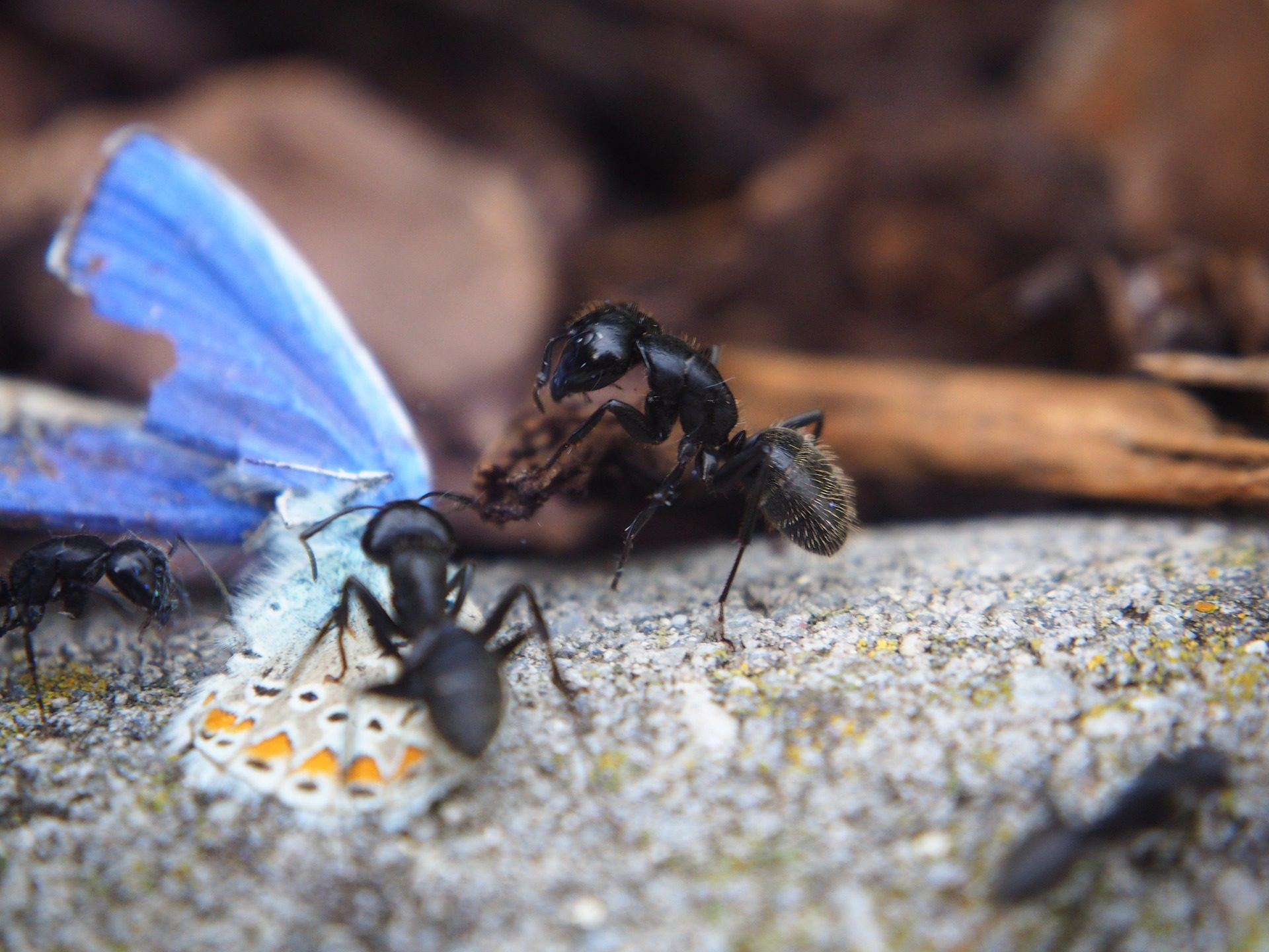 النمل, الحشرات, زهرة, العمل, فريق - خلفيات عالية الدقة - أستاذ falken.com