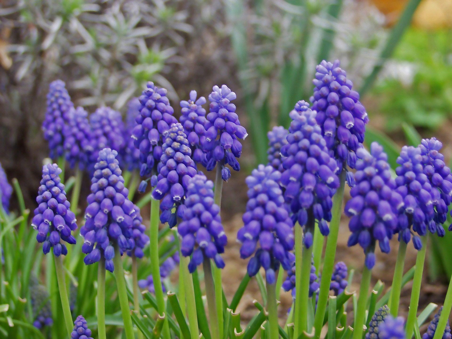 Jacinto, uva, flores, Jardim, Violet, caules - Papéis de parede HD - Professor-falken.com