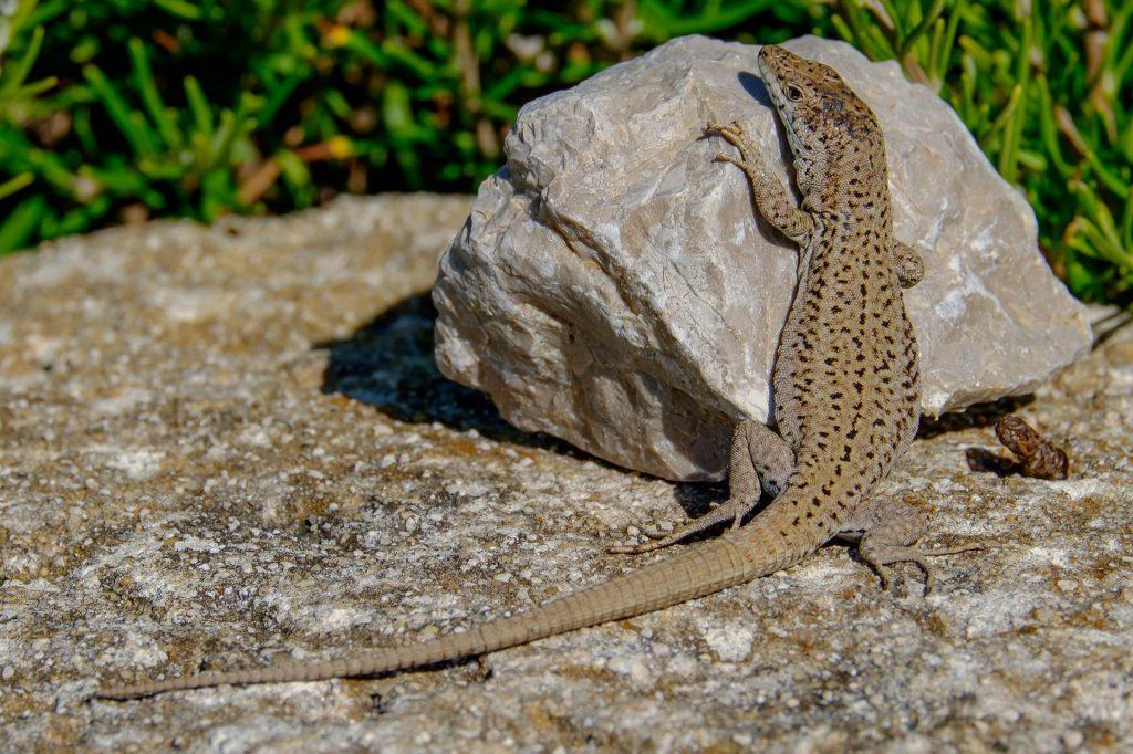 lagartija, reptil, piedra, roca, lagarto, salvaje, 1707121339